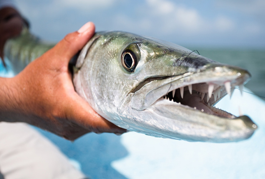 What's that fish? - Barracuda | Leisure Boating