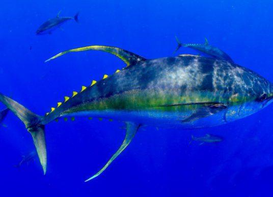 Yellowfin vs yellowtail
