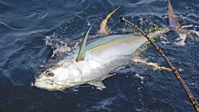 Yellowfin on the line